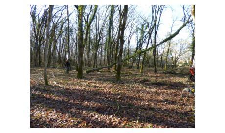 Abattage chêne à Montauban